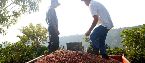 Two farmers near harvested coffee cherries